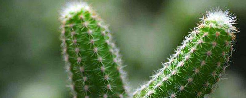 仙人掌属于多肉植物吗