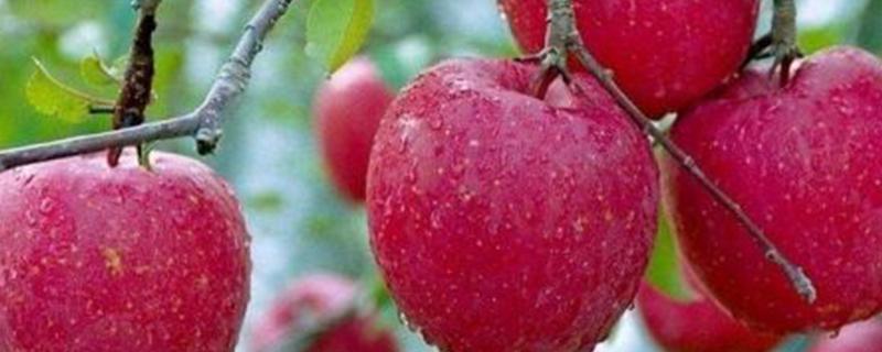 烟富9苹果介绍