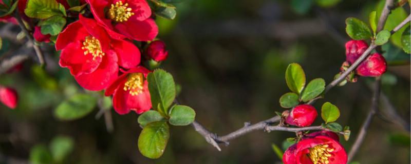 海棠花耐寒多少度