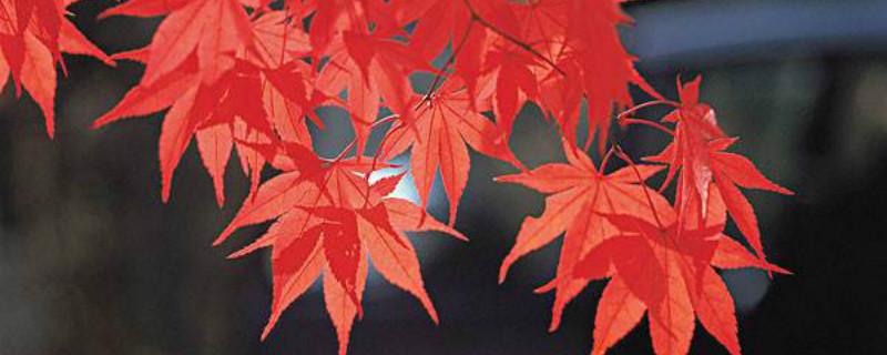 红枫树的功能
