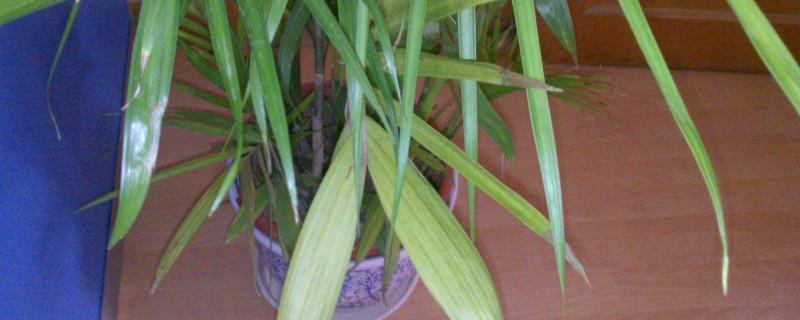 夏威夷竹子怎么浇水
