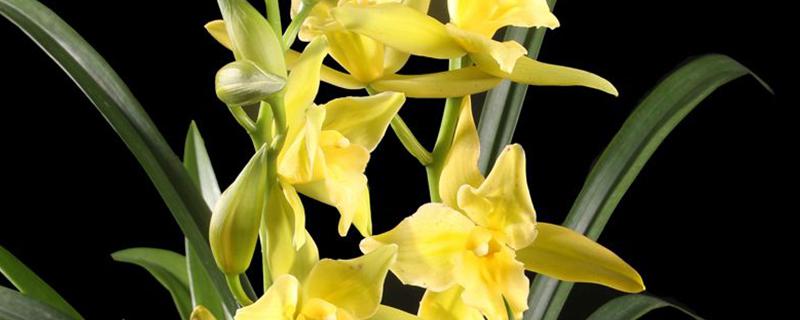 绿翡翠兰花是墨兰吗
