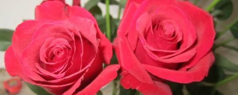 卡罗拉是玫瑰还是月季