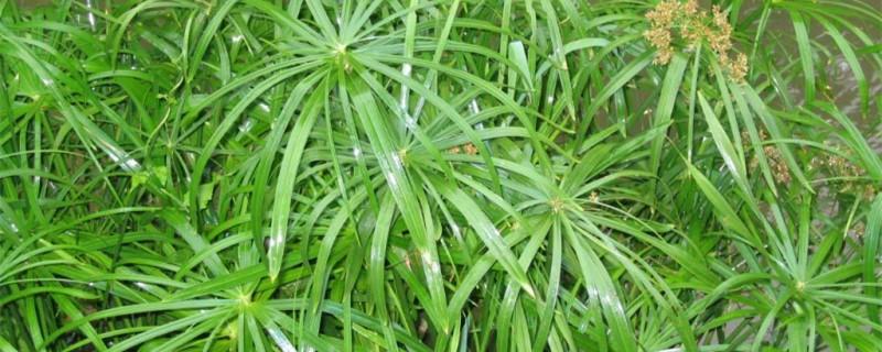 旱伞草是什么