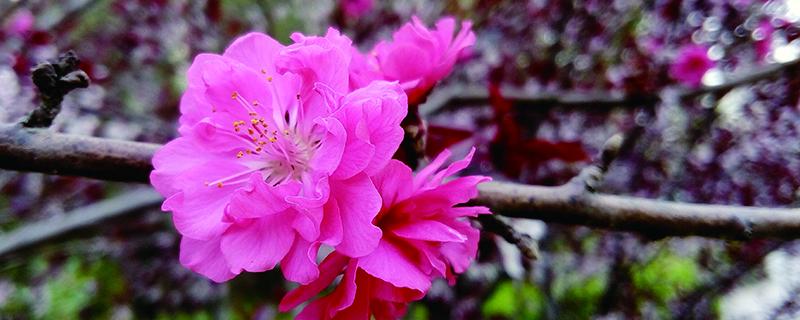 紫叶矮樱如何管理