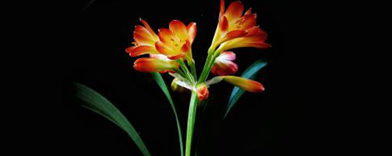 君子兰开花能浇水吗