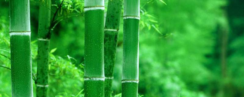 绿植竹子的种类