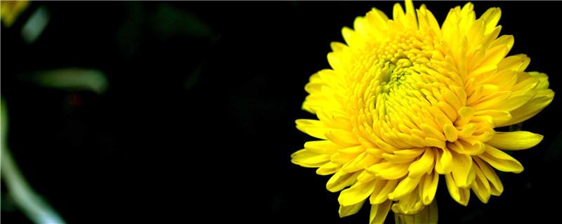 菊花的栽培与养护方法