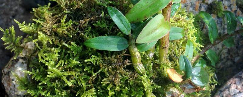 石斛花种植方法和注意事项