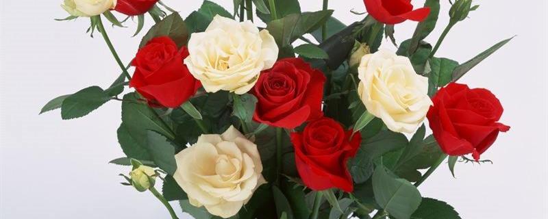 盆栽玫瑰叶子发黄是什么原因