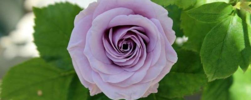 紫色月季品种有哪些