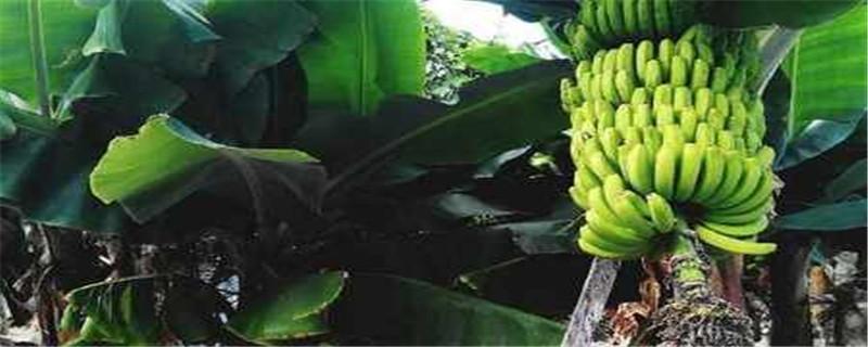 一棵香蕉树结几串