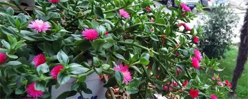 牡丹吊兰种子繁殖方法