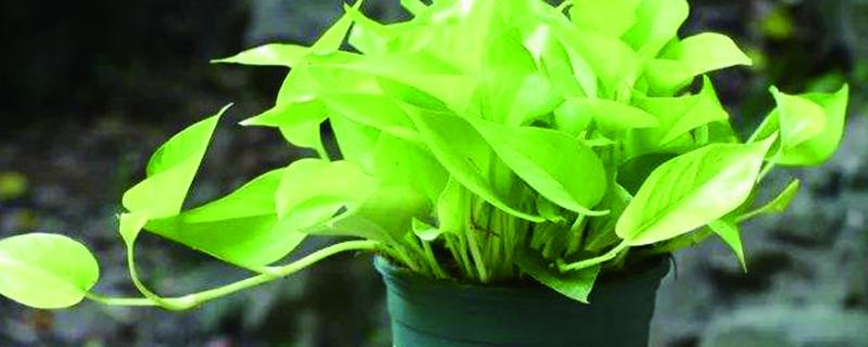 绿萝对温度的要求