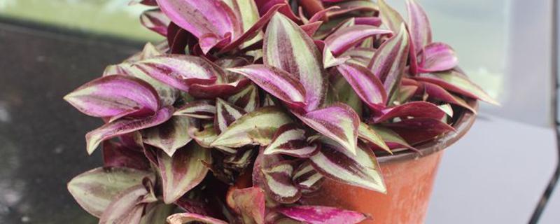 紫色吊兰叫什么名字