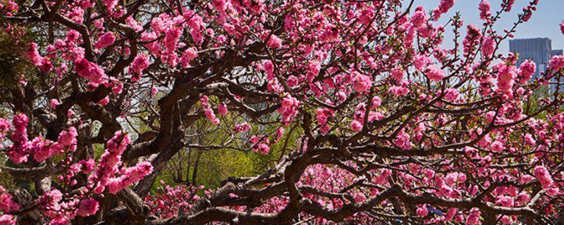 桃树可以嫁接月季花
