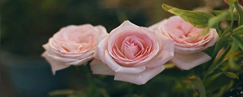 荔枝玫瑰的来历