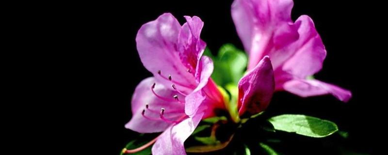 锦绣杜鹃生长季节