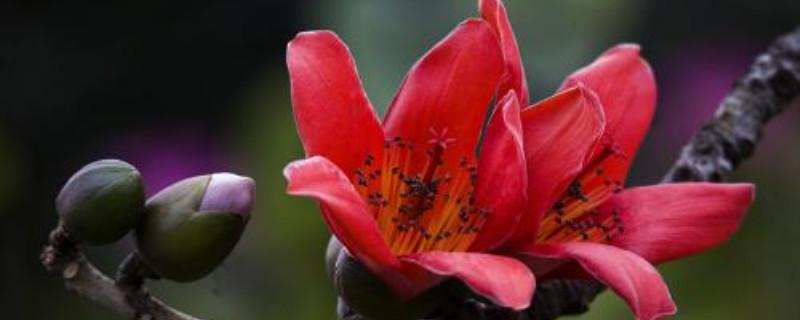 木棉花哪个季节开花