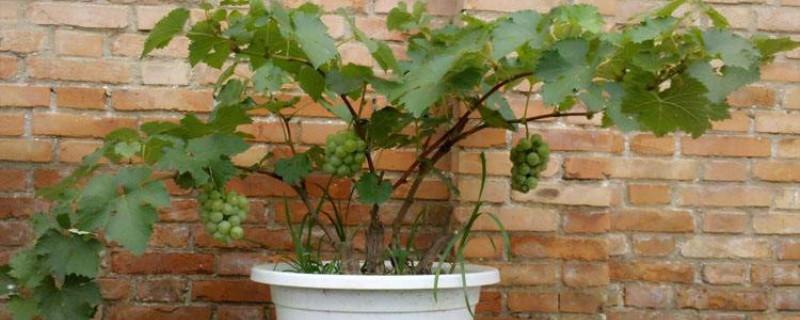盆栽葡萄什么季节种植