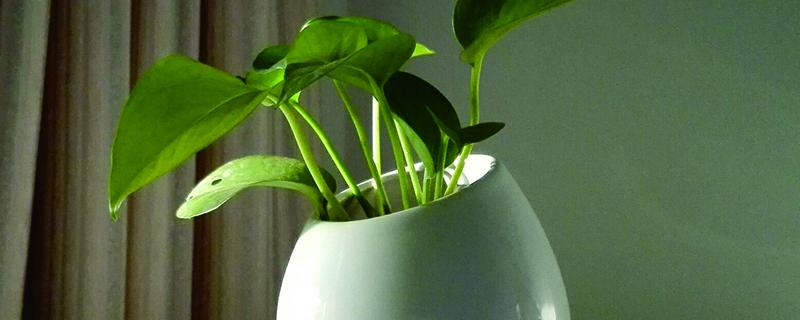 水培绿萝的根什么季节生长