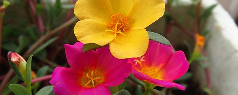 太阳花种植季节
