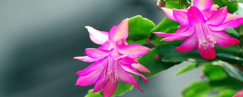 蟹爪兰的栽植季节