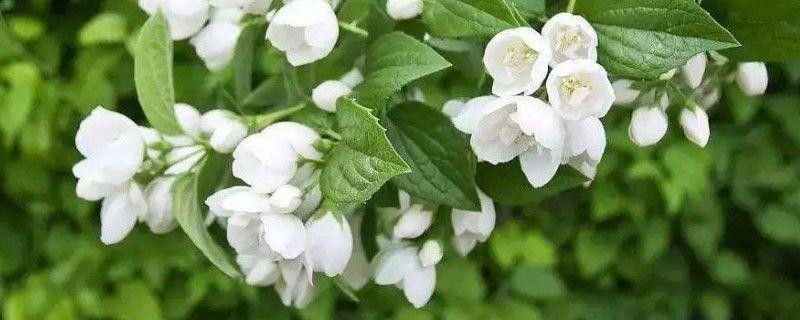 茉莉栽培季节