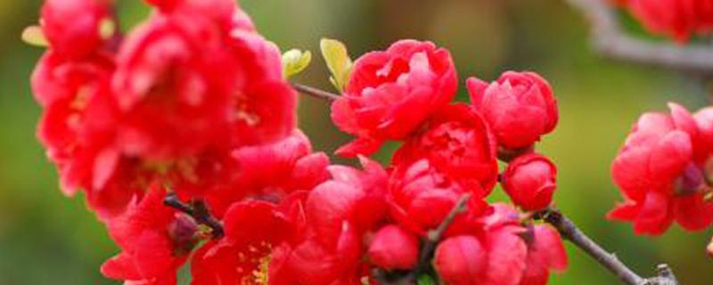 长寿冠海棠叶子掉光了怎么办