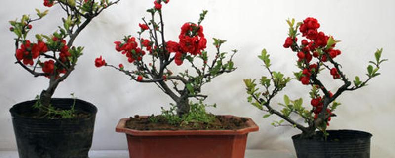 海棠树桩好养吗