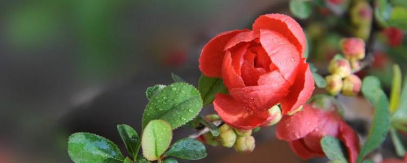 日本海棠为什么掉花蕾