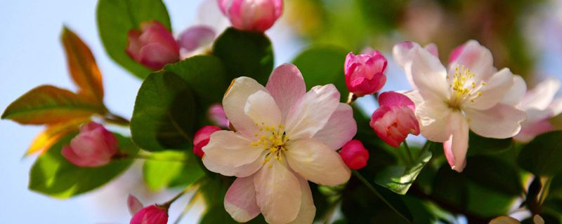 海棠树几月剪枝最好