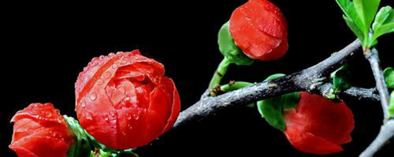 日本海棠不长叶子是怎么回事