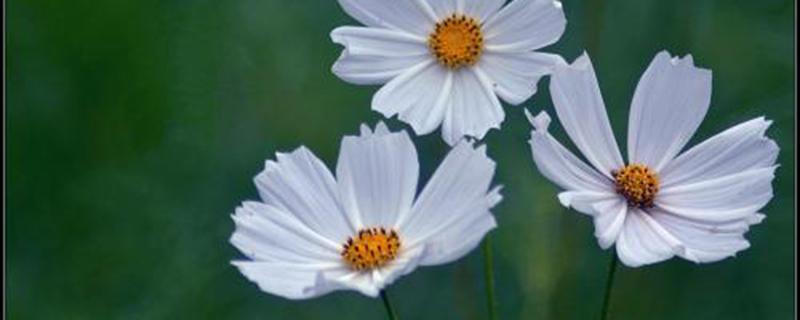 波斯菊的种植季节