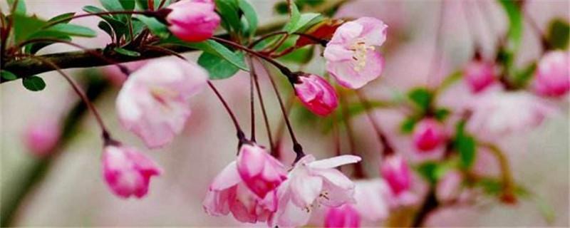 海棠花浇水的正确方法