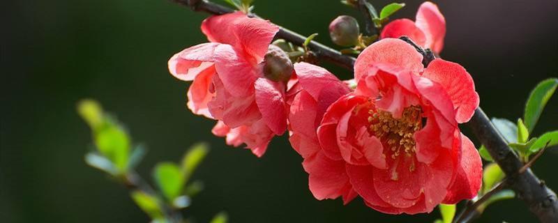 水培海棠花的养殖方法