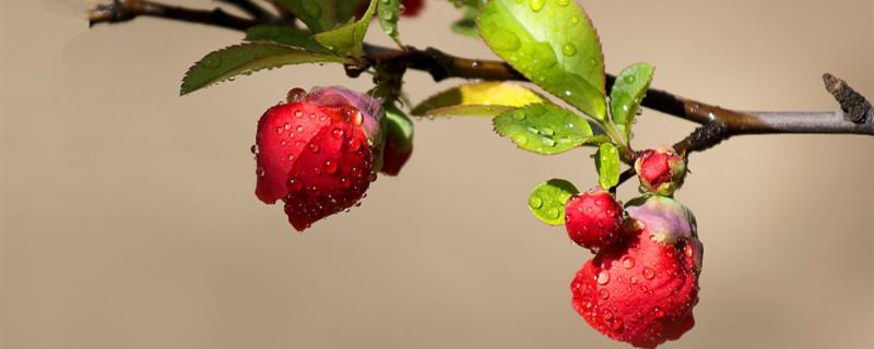 盆栽贴梗海棠养护方法