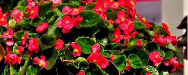 四季海棠正开花时间能否换盆