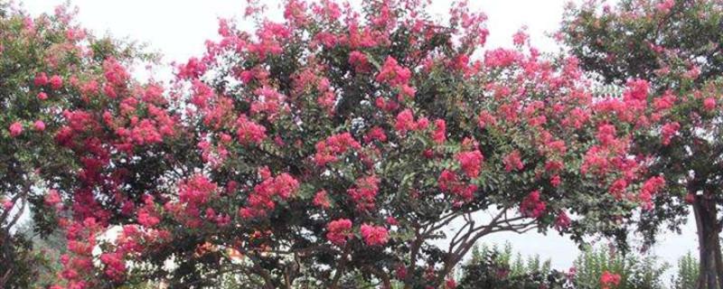 海棠花移植方法