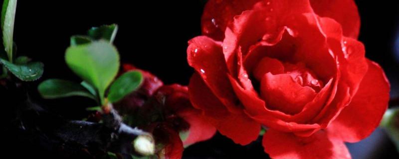 日本海棠花什么时候换盆