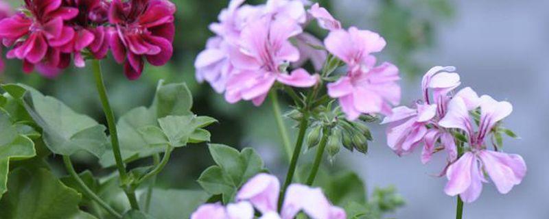 天竺葵开花季节