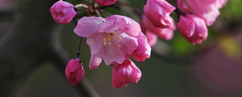 垂丝海棠扦插繁殖方法