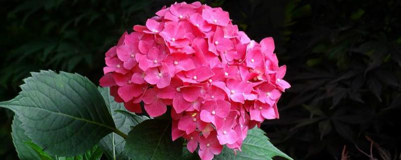 八仙花和长寿花区别
