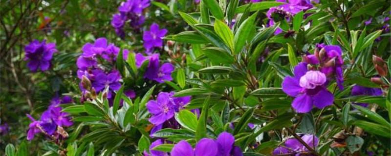 巴西紫牡丹移植方法