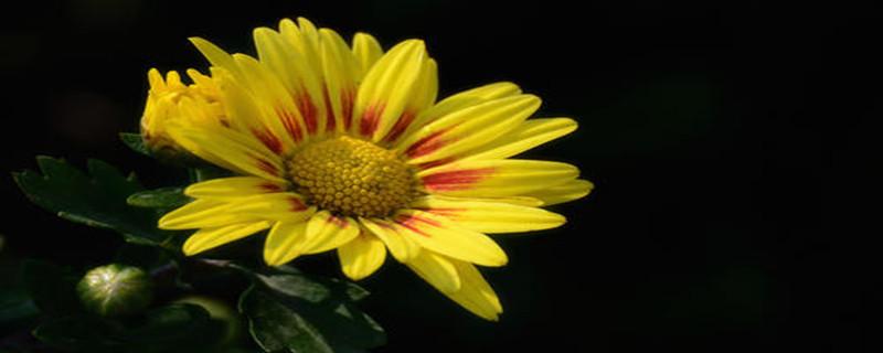 荷兰菊花白粉病症状