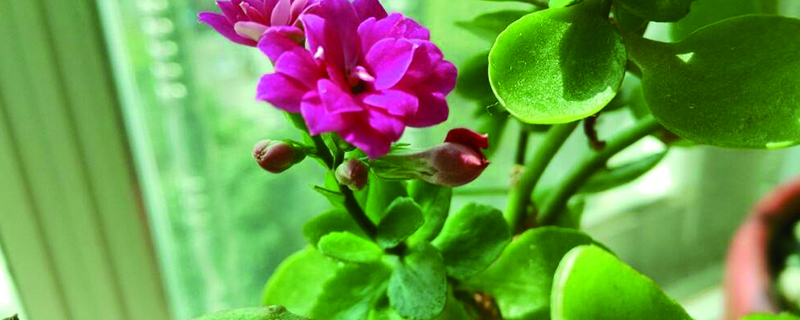 长寿花叶子白粉病症状