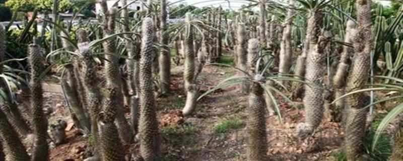 非洲霸王树养殖方法