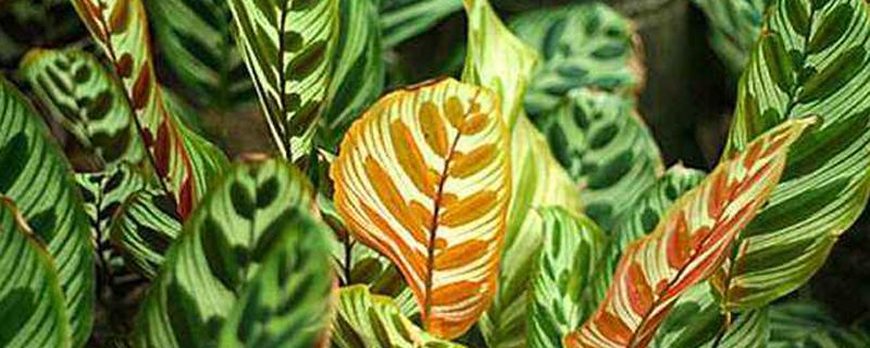 猫眼竹芋怎么能发新芽