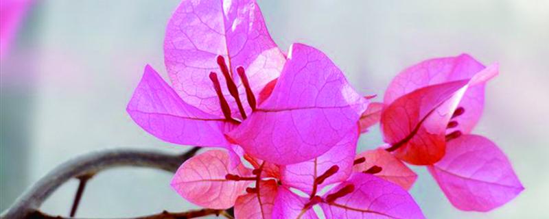 三角梅是草本植物吗