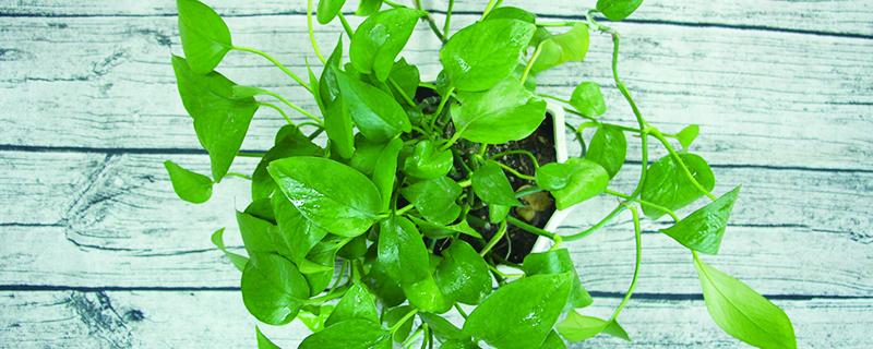 绿萝是不是草本植物